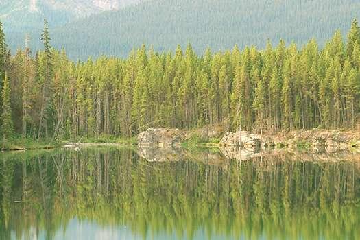Aspen Tree Image